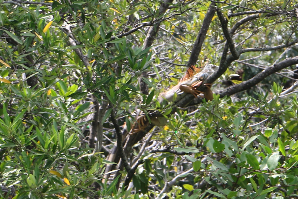 Leguane im Palo Verde Nationalpark