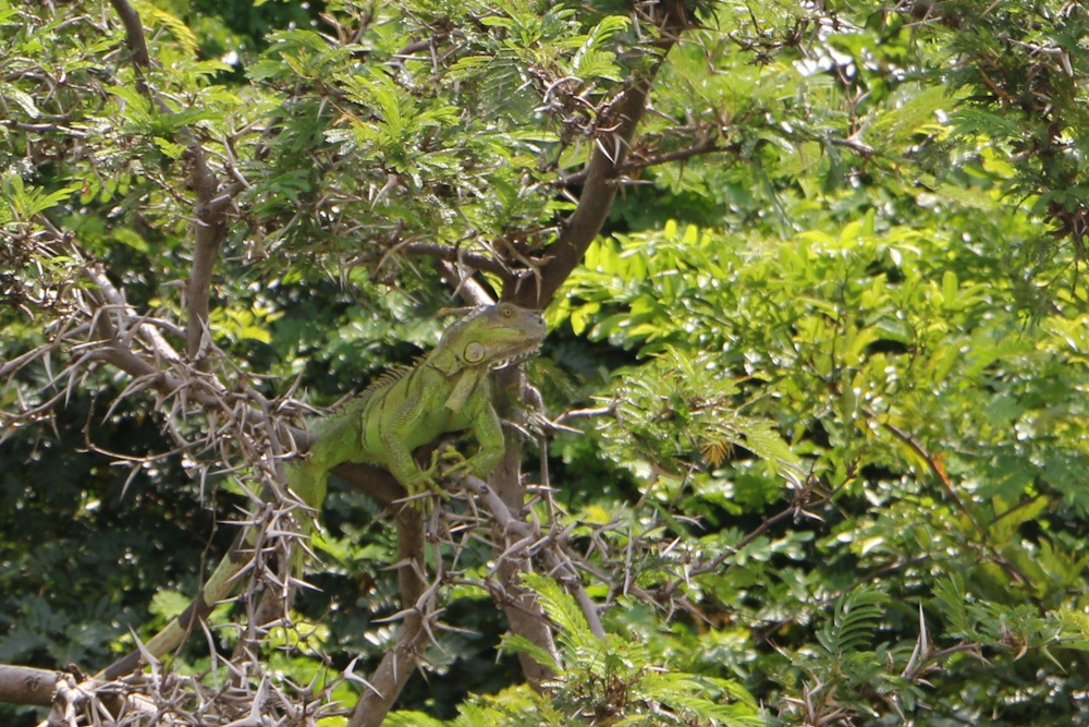 Leguan im Palo Verde Nationalpark