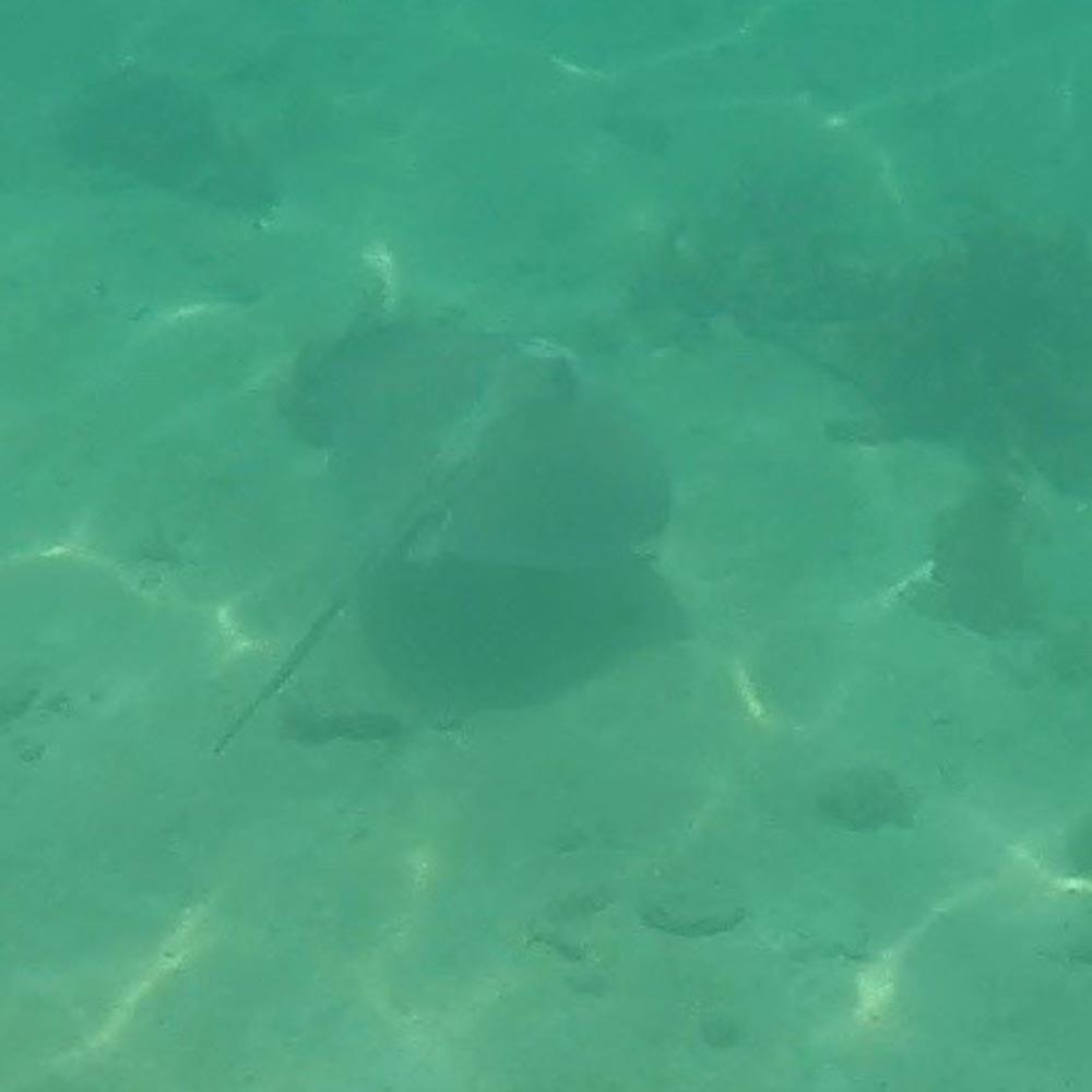 Neben den vielen Fischen haben wir ganz kurz einen Rochen gesehen.