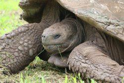 Riesenschildkröte auf der Rancho Primicias