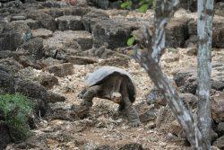 Es gibt 15 verschiedene Arten der Riesenschildkröten.