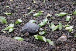 Kleine und grosse Schildkröten leben in der Charles Darwin Foundation.