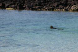 Die Iguanas leben nicht nur an Land. Sie sind auch gute Schwimmer und Taucher.
