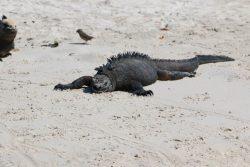 Faul, fauler, Iguana...