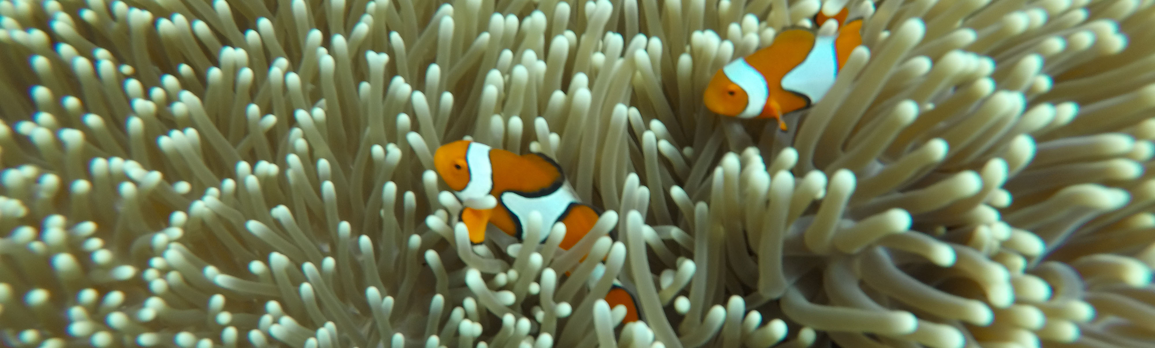 Nemo am Great Barrier Reef
