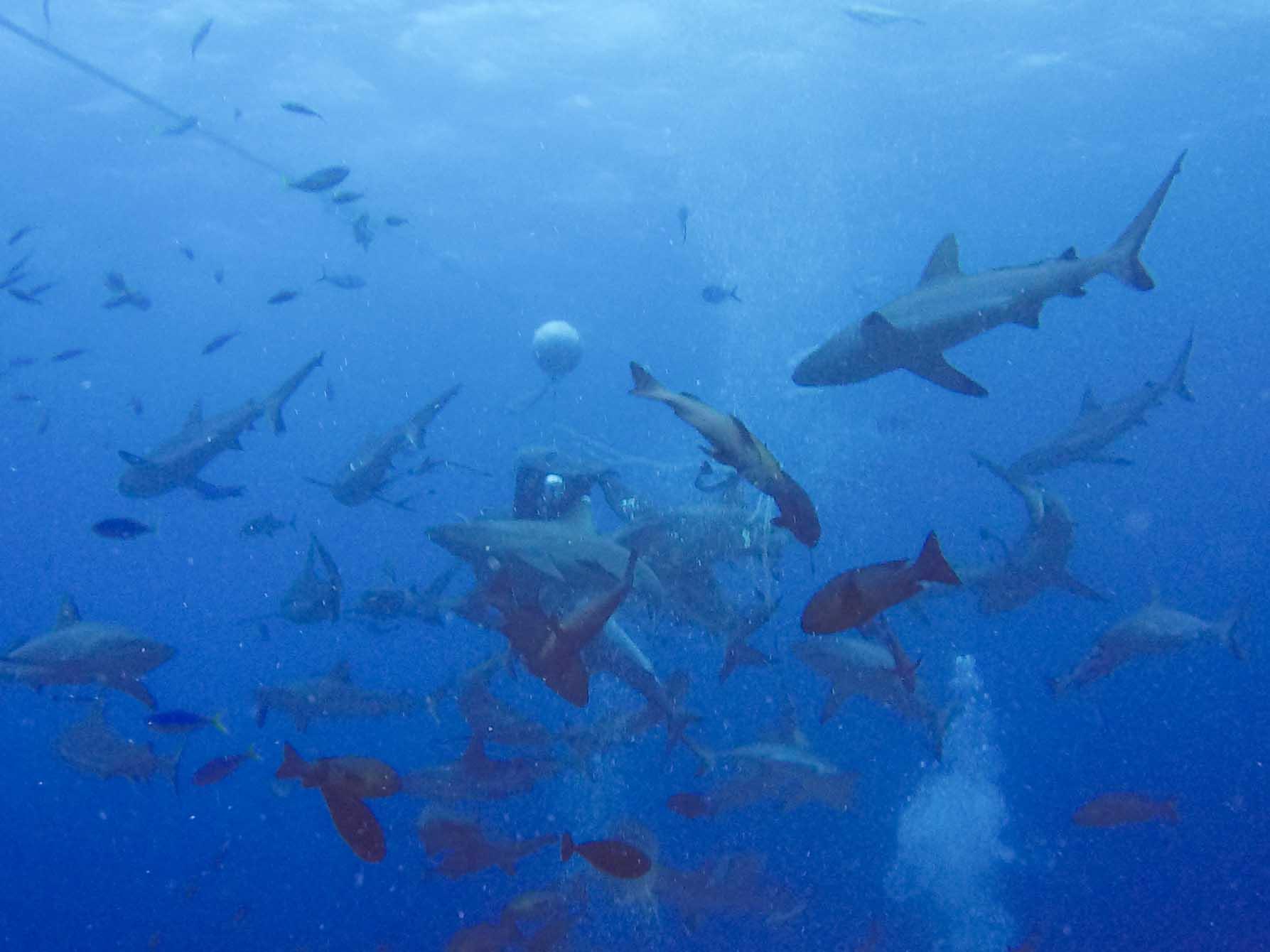 AUSTRALIEN: Tauchen mit Haien