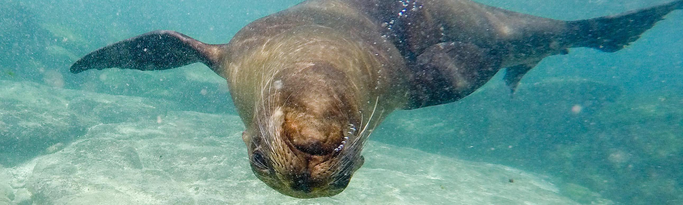 GALAPAGOS: Spielen mit den Seehunden