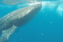 MEXIKO: Schnorcheln mit Walhaien