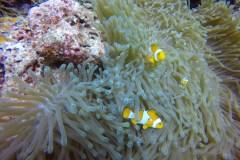 AUSTRALIEN: Nemo