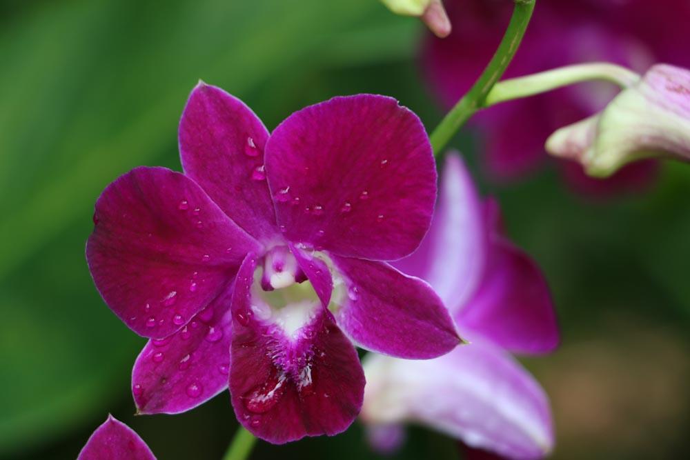 Singapore Botanischer-Orchideen Garten-10