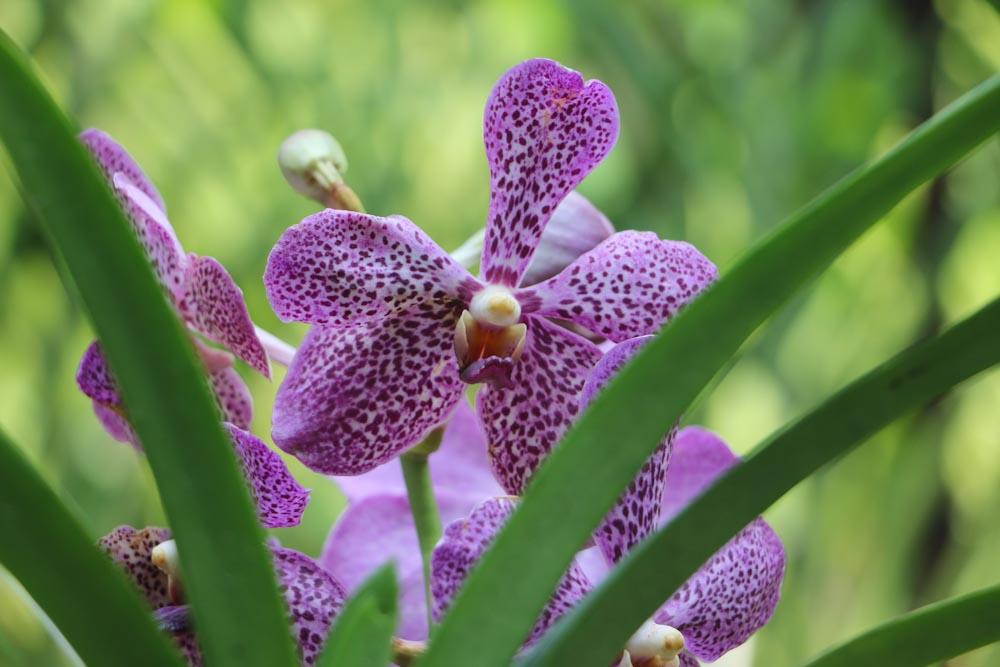 Singapore Botanischer-Orchideen Garten-2