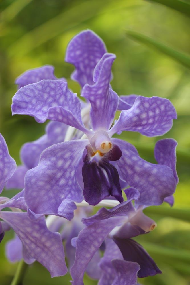 Singapore Botanischer-Orchideen Garten-4