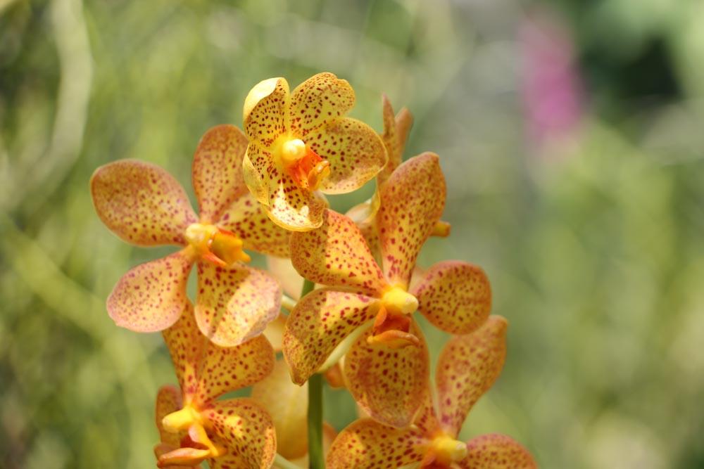 Singapore Botanischer-Orchideen Garten-5
