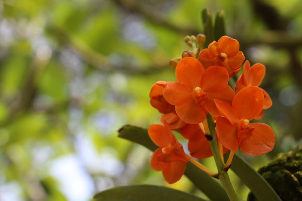 Singapore Botanischer-Orchideen Garten-8