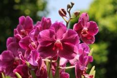 Singapore Botanischer-Orchideen Garten-3