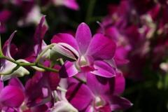 Singapore Botanischer-Orchideen Garten-6
