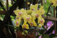 Singapore Botanischer-Orchideen Garten-7