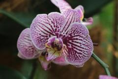 Singapore Botanischer-Orchideen Garten